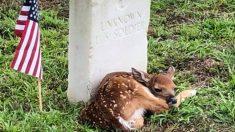 """Pequeño cervatillo aparece """"acurrucado"""" junto a lápida de un soldado estadounidense en un cementerio"""