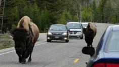 Bisonte cornea a una anciana de 72 años en el Parque Nacional Yellowstone
