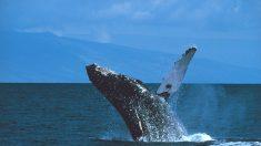 El alma del mar: encuentros con ballenas en la República Dominicana