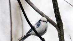 Conozca al herrerillo azul, un pájaro cantor de azul escarchado que encanta a la gente con su belleza