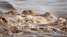 Cautivadora imagen muestra a 5 hermanos guepardos cruzando un río infestado de cocodrilos en Kenia