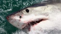 Tiburón blanco mata a mujer de Nueva York mientras nadaba en la costa de Maine, dicen autoridades