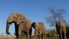 Hallan muertos a cientos de elefantes en Botswana en lo que parece ser una misteriosa muerte en masa