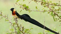 Estas son las cinco aves más hermosas con llamativas y elegantes plumas en la cola