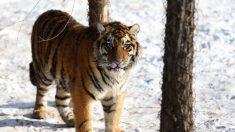 Tigre siberiano mata a su cuidadora en un zoológico suizo