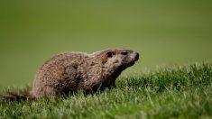 Adolescente muere de peste bubónica luego de comer una marmota infectada en Mongolia
