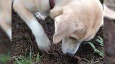 Perra desentierra a su cachorro muerto y trata desesperadamente de revivirlo