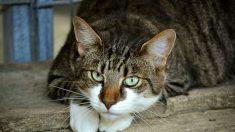 Un gato doméstico es el primer animal del Reino Unido en dar positivo para el virus del PCCh