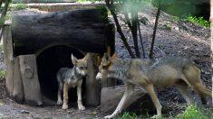 La única manada de lobos grises de California ahora tiene al menos 8 nuevos cachorros
