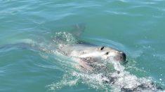 Tiburón saca a un niño de 10 años de un bote y lo ataca en la costa australiana