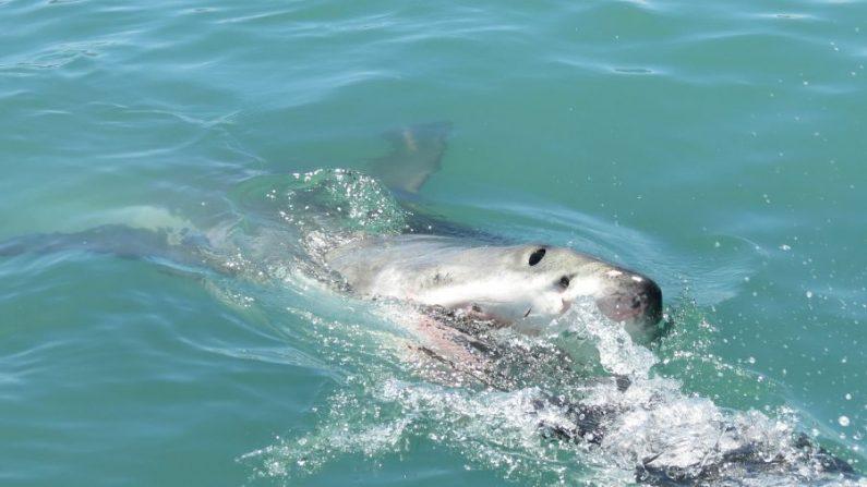 Imagen de stock de un tiburón. (Gris379/Pixabay)