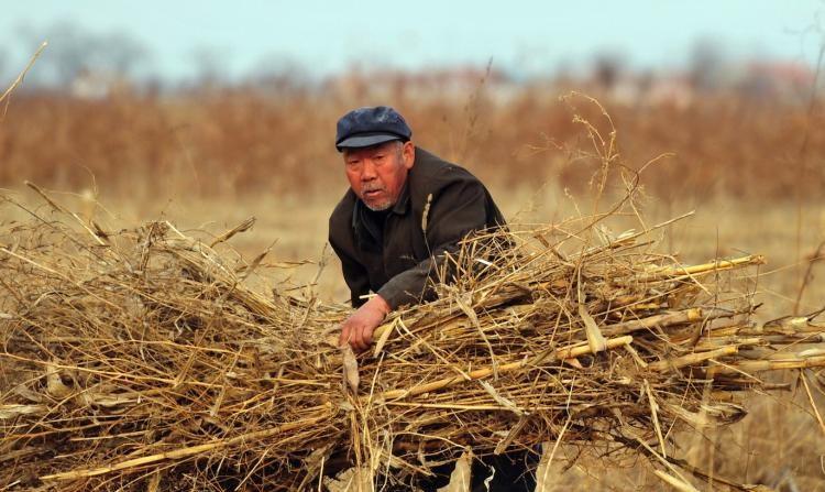 Un agricultor empaqueta tallos secos de trigo en un campo en Cangzhou, en la provincia china de Hebei en febrero de 2009. Se espera que los precios de los granos aumenten, lo cual presenta  un dilema para el Partido Comunista Chino. Si el PCCh permite que los precios suban, los pobres de las zonas urbanas se verán afectados negativamente, si se bajan artificialmente los precios, los agricultores enfrentarán la inflación. (Frederic J. Brown/Getty Images)