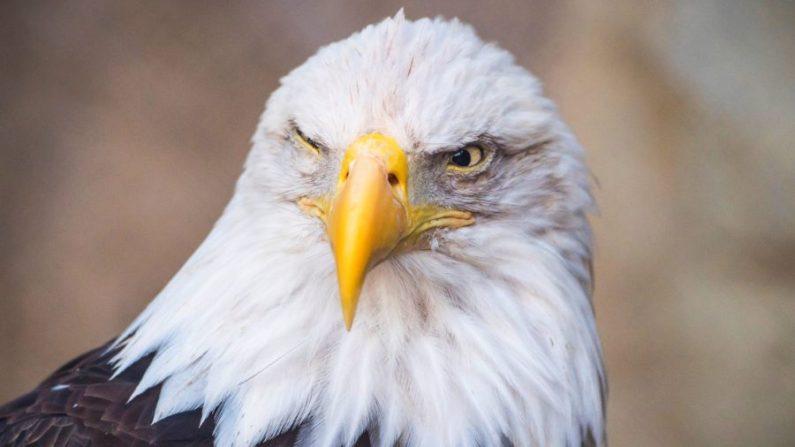 Un águila calva. (Mladen Antonov/AFP vía Getty Images)