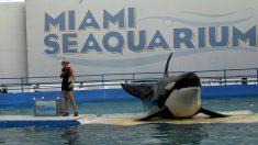 La orca Lolita, medio siglo encerrada en Miami