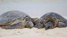Decomisan caparazones de tortugas marinas en aeropuerto de Miami