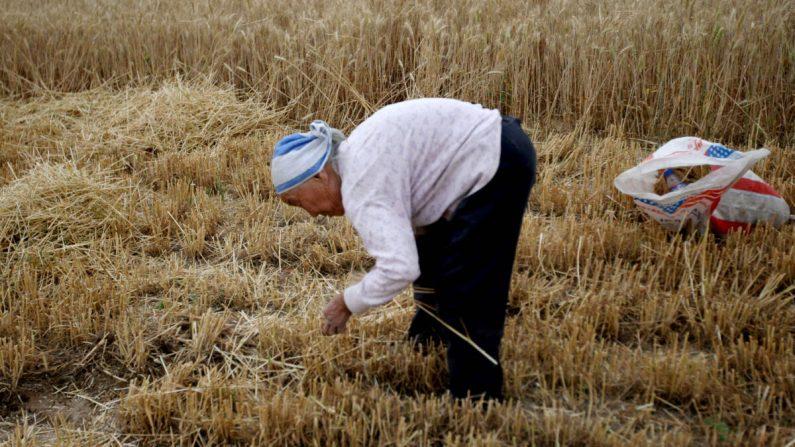 Un agricultor recolecta trigo en un campo el 29 de mayo de 2011, en Huaibei, provincia de Anhui, China. (VCG/VCG a través de Getty Images)