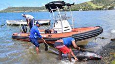 Ascienden a 25 los delfines muertos en Mauricio tras el derrame de petróleo