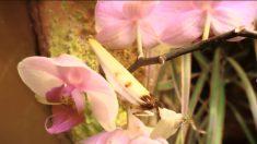 ¿Esa flor se comió una mariposa? Este increíble insecto es un impresionante imitador de orquídeas