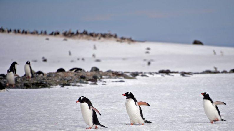 Pingüinos papúa (Pygoscelis Papua) en el puerto Yankee en las Islas Shetland del Sur, Antártida, el 6 de noviembre de 2019. (Johan Ordonez/AFP a través de Getty Images).