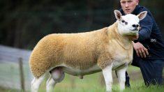 La oveja más cara del mundo se vendió en 490,000 dólares