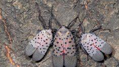 Los condados de Nueva Jersey están en cuarentena por otra razón: Insectos invasores