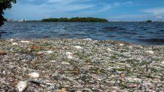 Muerte de peces en bahía de Miami se debe a bajo nivel de oxígeno, concluyen autoridades