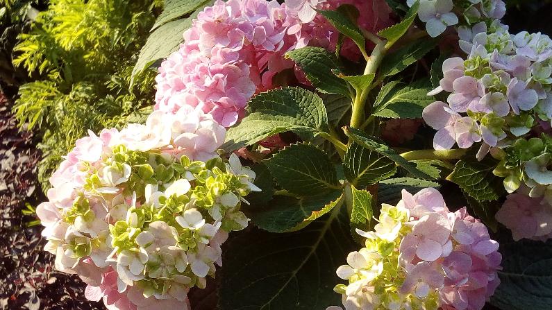 Hortensia fresa vainilla. (Pxfuel/CC0)