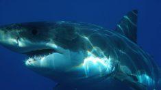 Surfista australiano golpea repetidamente a un gran tiburón blanco para salvar a su esposa