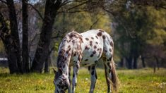 5 cosas sobre los espectaculares caballos Appaloosa que probablemente no sabías