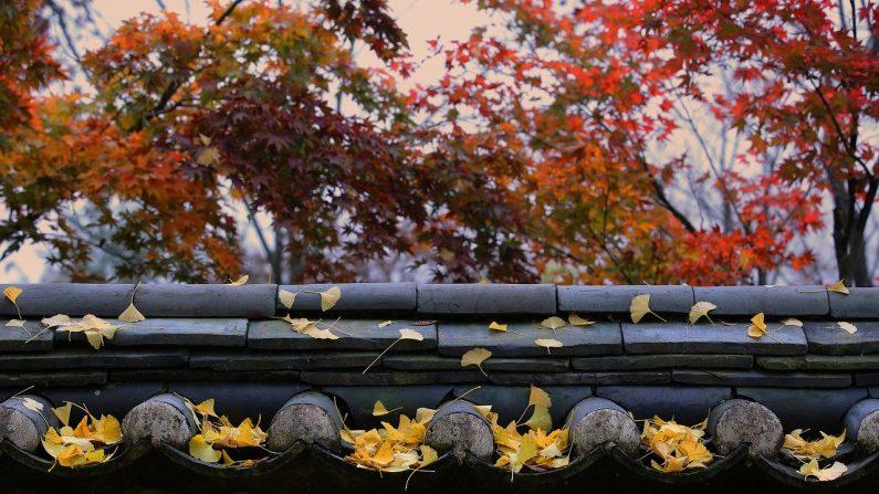 Hojas de otoño, Qingdao. (용한 배/Pixabay)
