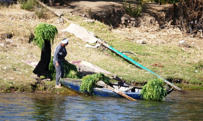 Los agricultores cosechan sus cultivos a lo largo del río Nilo en Egipto. (Cortesía de Phil Allen)