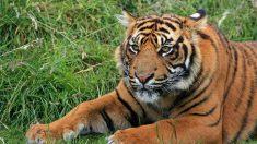 """Tigres salvajes vuelven a """"surgir"""" en cinco países gracias a un esfuerzo de conservación de 10 años"""