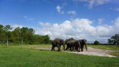 Florida acogerá la mayor manada de elefantes asiáticos de toda América
