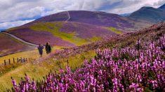 Espectaculares imágenes muestran hermosos brezos en un pintoresco paisaje de Escocia