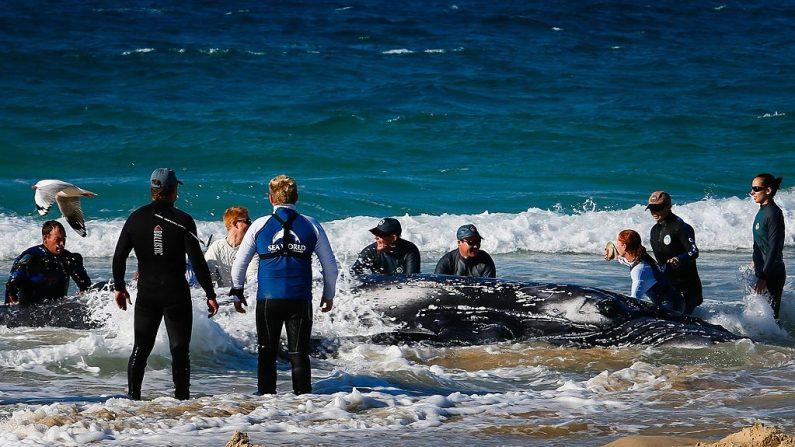 Trabajadores de Sea World tratan de rescatar una ballena jorobada varada en Palm Beach, en la Costa Dorada de Queensland (Australia), el 9 de julio de 2014. (Foto de archivo de PATRICK HAMILTON/AFP a través de Getty Images)