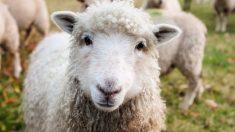 Policía peruano da de beber con sus manos a tres ovejas atadas por horas bajo el intenso sol