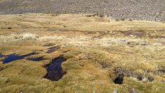 Hallan en Chile más ejemplares del sapito de cuatro ojos, especie en peligro