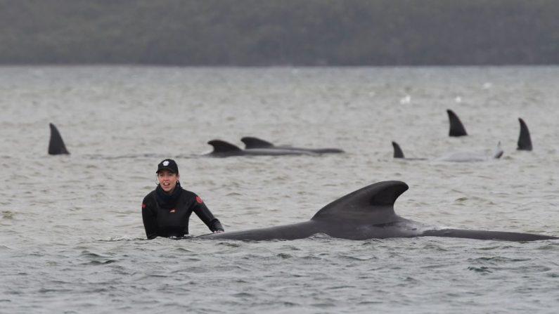 Los rescatadores trabajan para salvar una manada de ballenas varadas en un banco de arena en el puerto de Macquarie en la escarpada costa oeste de Tasmania (Australia) el 22 de septiembre de 2020. (Foto de BRODIE WEEDING/POOL/AFP vía Getty Images)