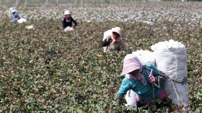 Esta foto tomada el 20 de septiembre de 2015 muestra a los agricultoras chinas recogiendo algodón en los campos durante la temporada de cosecha en Hami, en la región de Xinjiang, al noroeste de China. (STR/AFP vía Getty Images)