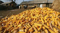 Condado chino cumplirá solo con la mitad de su reserva de granos cuya escasez preocupa en China