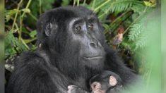 """Baby Boom"" de gorilas de montaña en peligro de extinción refleja éxito de esfuerzos de conservación"