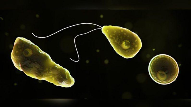 Naegleria fowleri, un tipo de ameba come-cerebros.  (CDC)