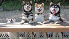 Traviesa perrita Shiba Inu estropea las perfectas fotos de grupo con sus hermanos