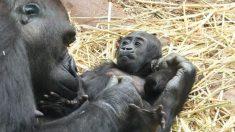 Mamá gorila cuida amorosamente a su bebé recién nacido, después de perder a su cría anterior