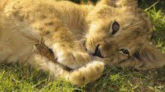 Simba, el cachorro de león rescatado en Rusia con patas fracturadas, será trasladado a un santuario