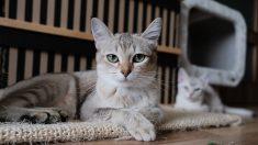 Tres razones para no enseñarle a su gato a usar el baño