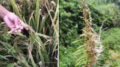 Granjeros chinos piden ayuda debido a cultivos de arroz arruinados por las inundaciones