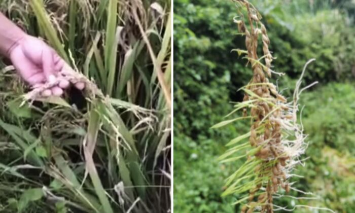 Los granos de arroz que germinaron antes de que los agricultores los cosecharan. (Captura de pantalla/YouTube)