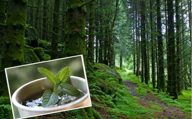 9 hierbas medicinales chinas y un paseo por el bosque