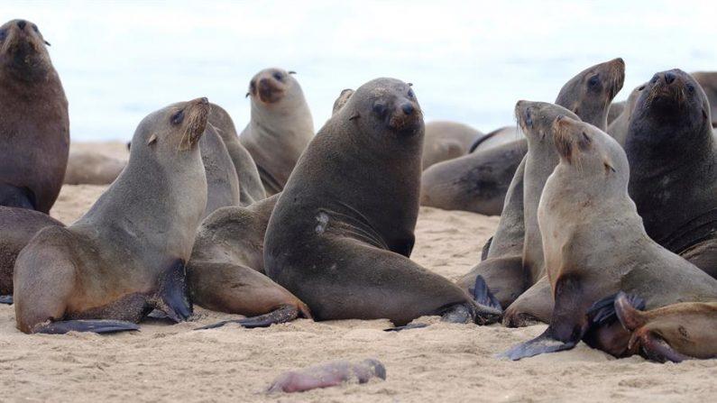 Varios ejemplares de lobos marinos se juntan en Pelican Point, Namibia el 27 de octubre de 2020. EFE/Ocean Conservation Namibia/ Naude Dreyer